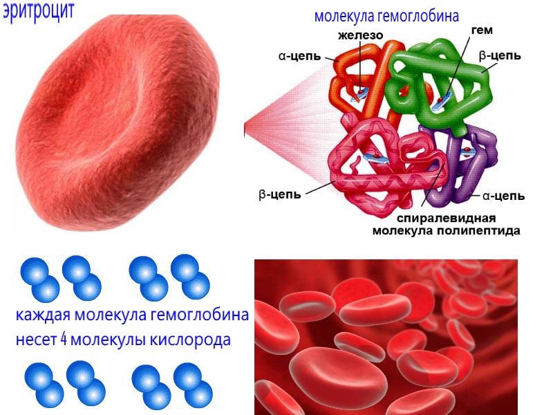 Гемоглобин анализ: польза и вред повышенного уровня